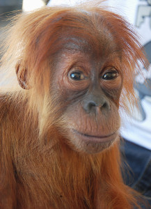 "Congratulations to the Navrapilo,Siegmann,Murray, Marshall and Walden Families for adopting our 23 orangutan ""Chocolate"""