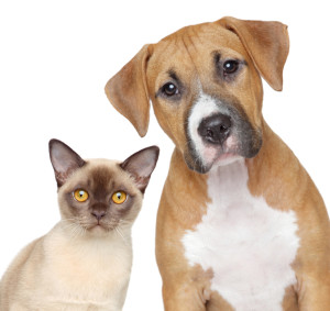 Burmese cat and Staffordshire Terrier portrait on white background