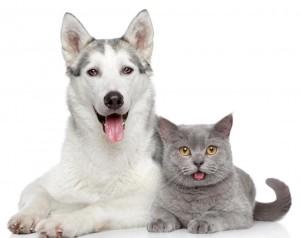 white-dog-and-gray-cat