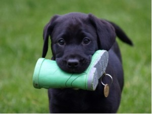 Labrador-Puppy-4